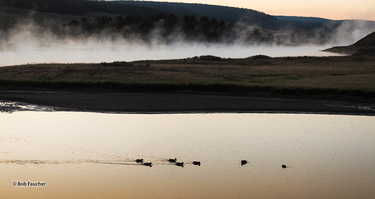 The golden hue of dawn finds a small raft of waterfowl paddling across a side channel of the Yellowstone River with the main...