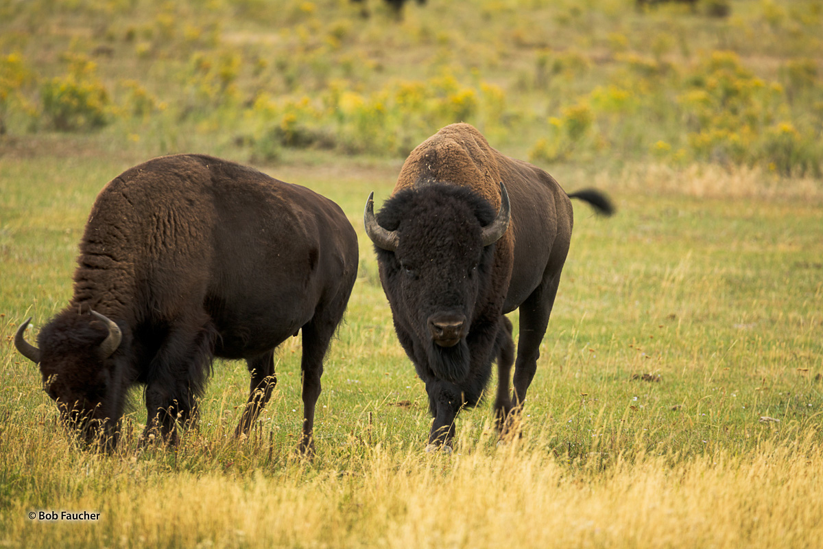 Large male Bison (Bison bison) stares intimidatingly at the camera after approaching a female, checking her state—estrous or...