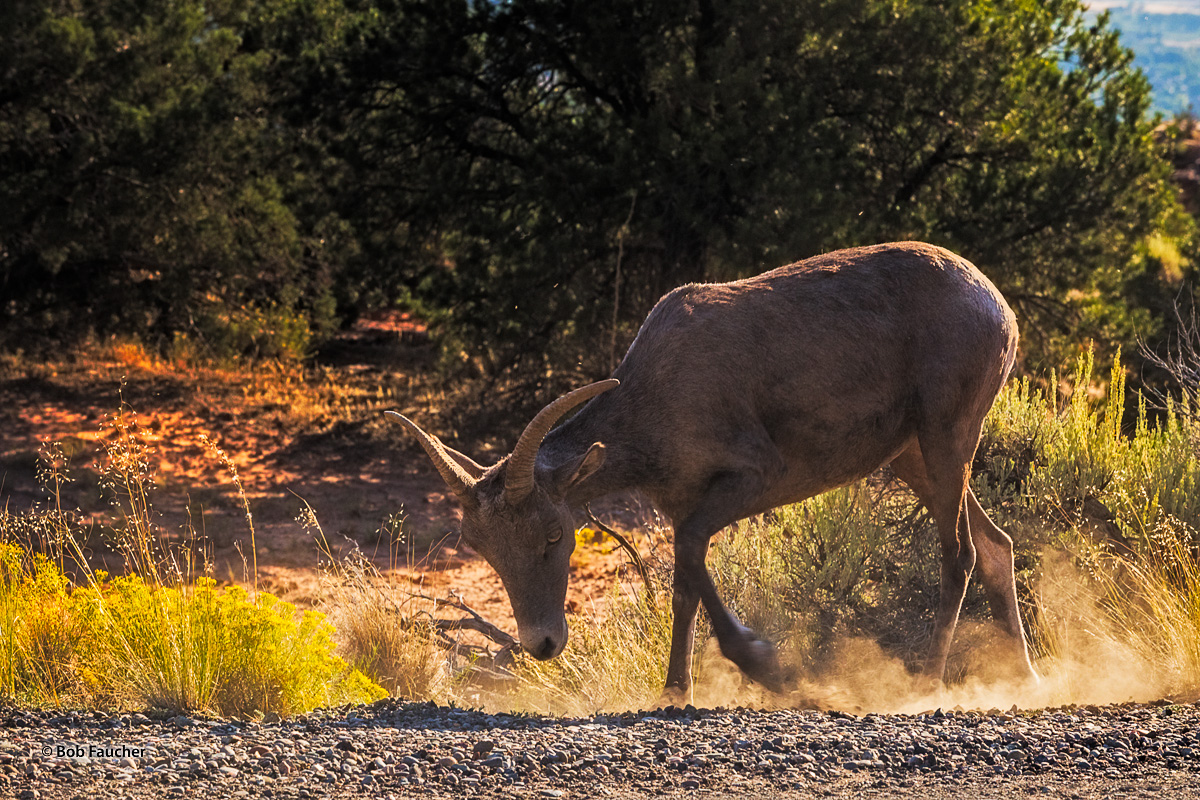 Morning backlight highlights this ewe's coat as she forages along the Rim Rock Drive. The animals here in Colorado NM are very...