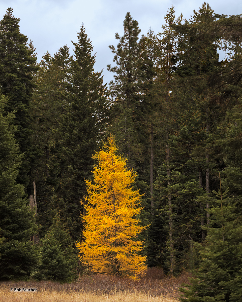 Larix, tamarck, larch, photo