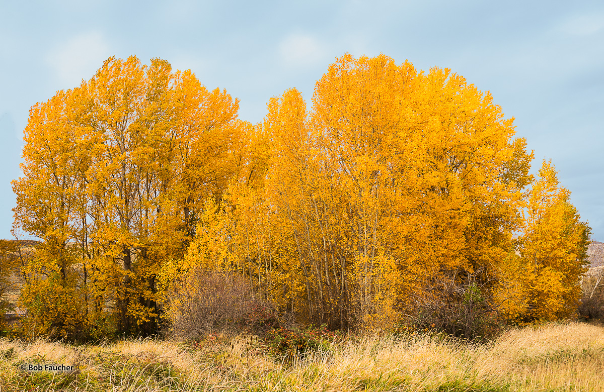 A small cluster of Cotttonwood trees form a dazzling display with their brilliant Fall colors