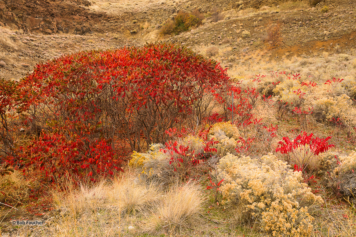 The red leaves of Smooth Sumac (Rhus glabra L.)  in the Fall are like pointed fiery tongues juxtaposed against the soft yellow...