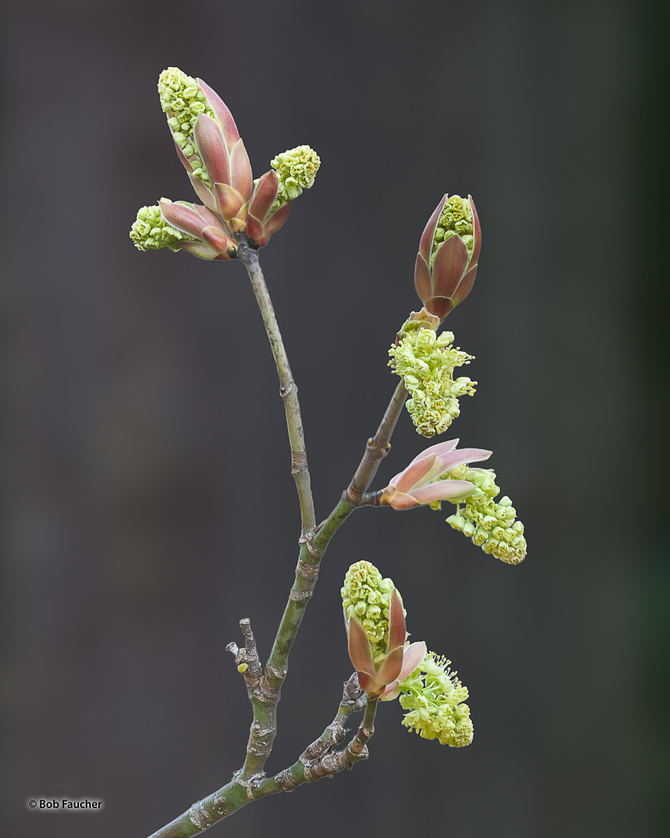 Maple catkins in early stages of blooming, emerging from their flower buds