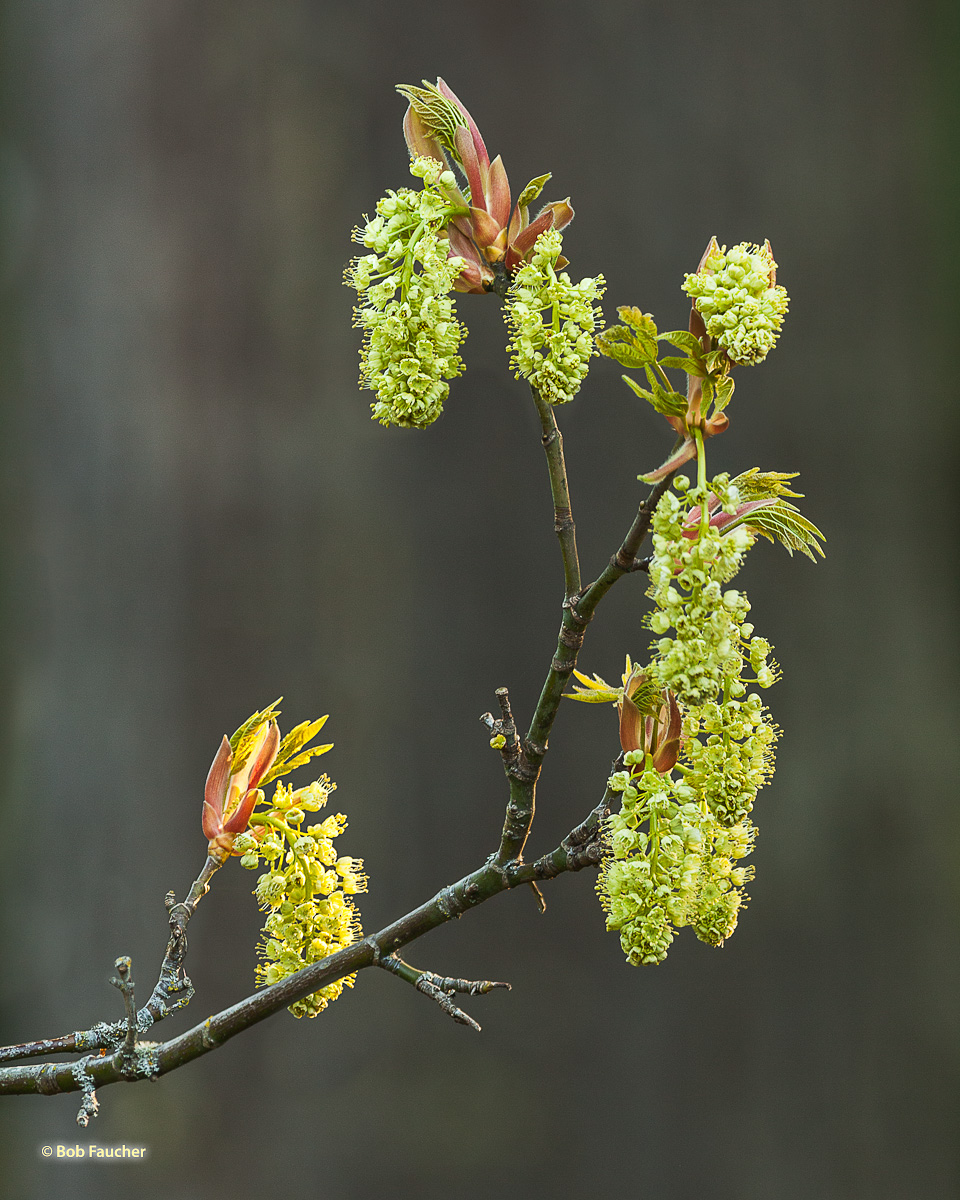 Maple catkins in full bloom stage, after fully emerging from their flower buds.
