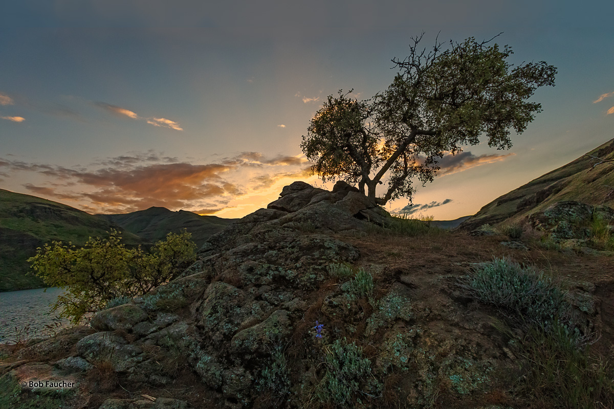 Perched high on a pile of rocks, on the eastern shore of the Snake River near Wawawai, a lone, graceful tree is backlit by the...
