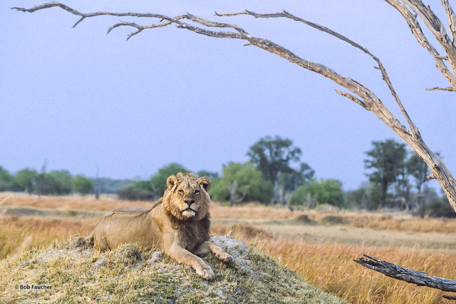 Botswana,Africa,lion,panthera leo,savannah, photo