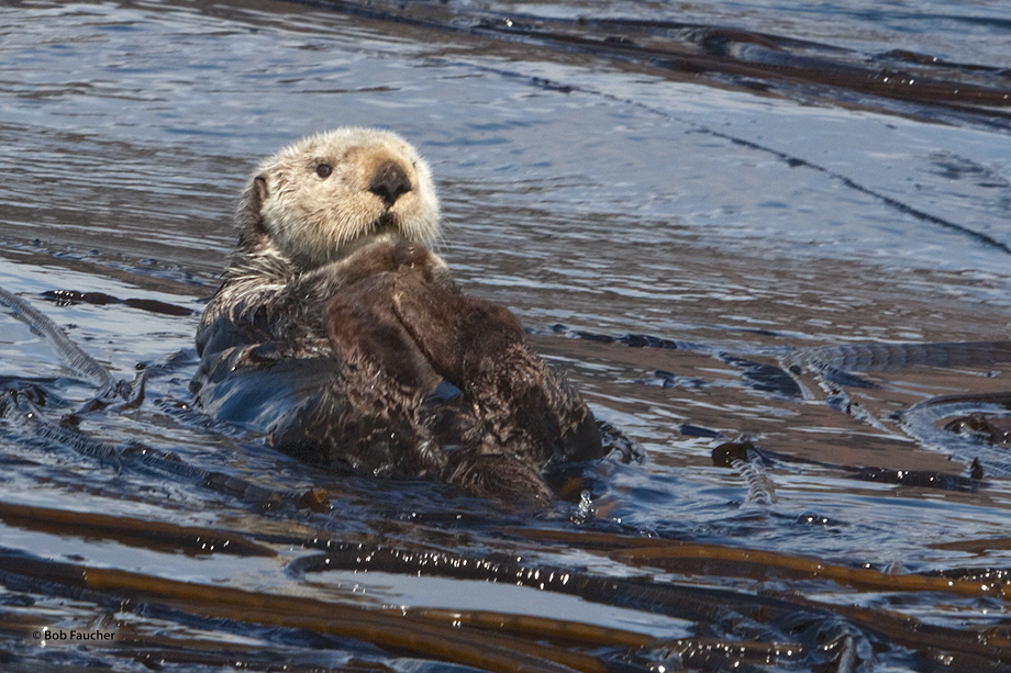 Sea otters,adult,kelp,Kodiak, photo