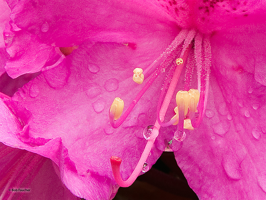 Rhodendron is a genus of 1,024 species of woody plants in the heath family (Ericaceae).  Most species have showy flowers.
