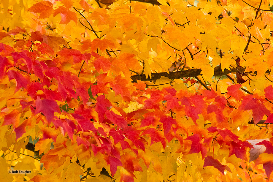 A wave of bright red maple leaves washes across the field of yellow maple leaves as the tree shows different colors corresponding...