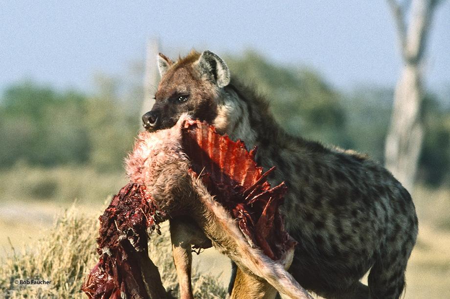 Botswana,Africa,hyena,predation, photo