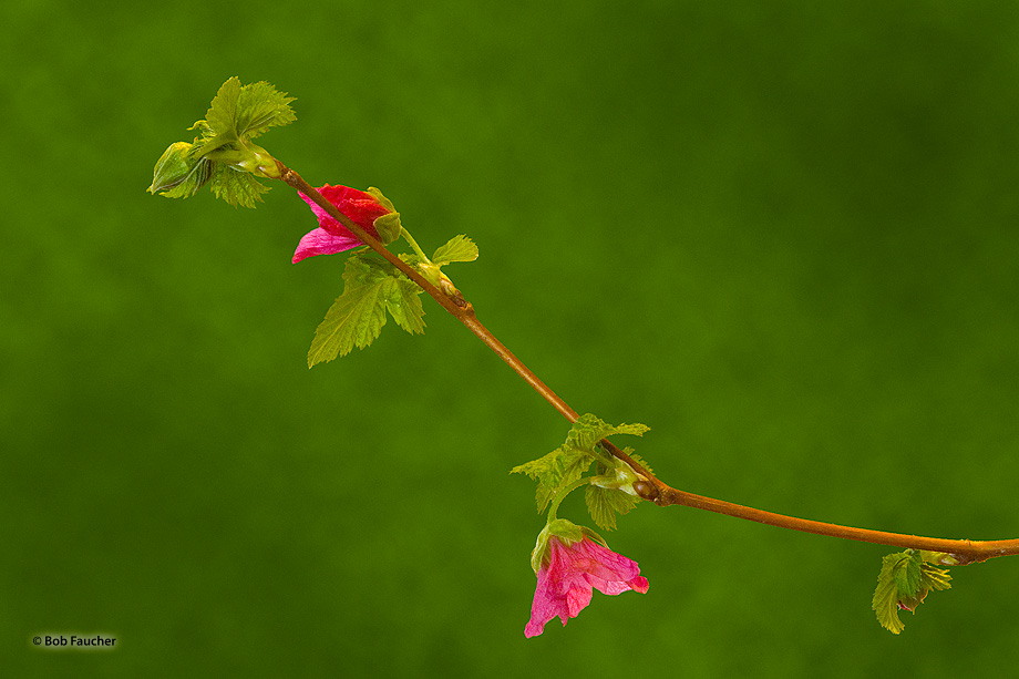 plant,salmonberry,Rubus spectabilis,flower,magenta, photo