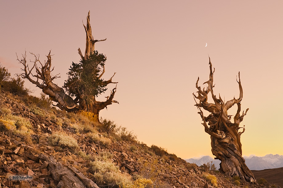 A pair of ancient Bristlecone pines, high in the White mountains, bask in the twilight of sundown as the waxing gibbous moon...