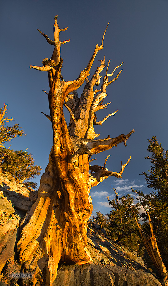 Schulman Grove,bristlecone pine,evening, photo