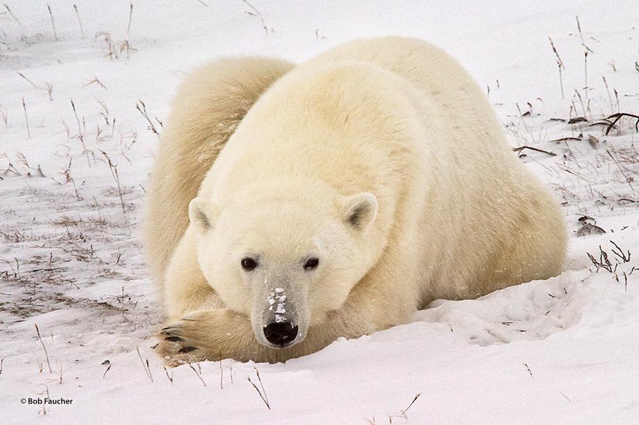 A disturbed bear (Ursus maritimus) appears puzzled