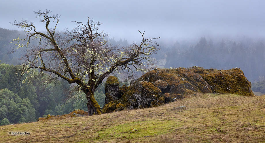Sherwood Valley,oak,fog,rocky outcropping, photo