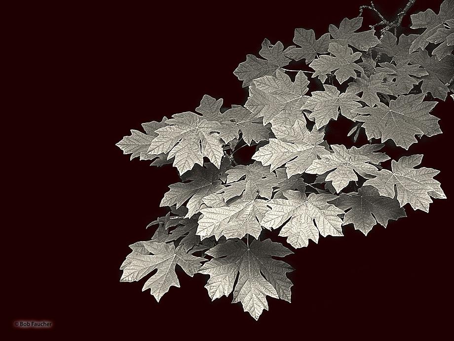 leaves,maple, photo