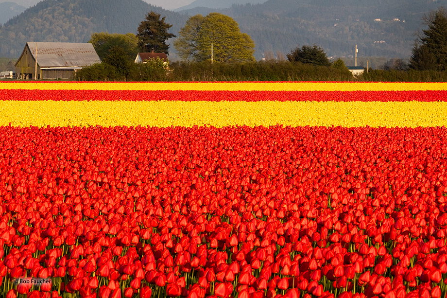 Alternating red and yellow fields of tulips in the Skagit Valley form progressively narrower stripes of color