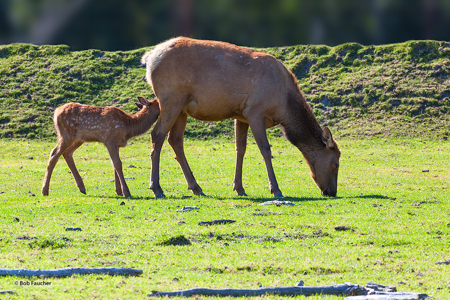 Elk,Cervus canadensis,Alaska, photo