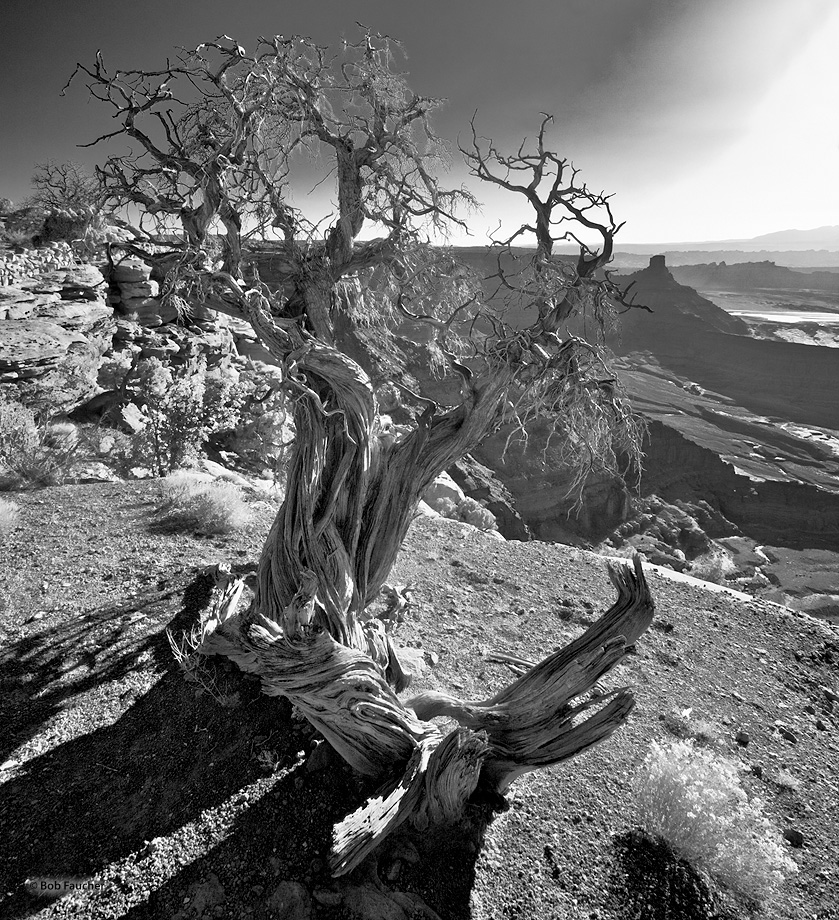 A twisted snag and unnamed butte overlook the Shafer Basin near Dead Horse Point at sunrise
