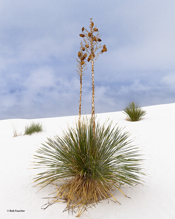 White Sands NM,Soaptree yucca,seed pods, photo