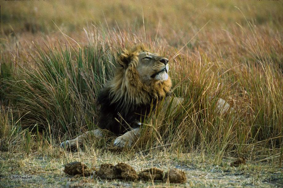 Botswana,Africa,lion,panthera leo, photo