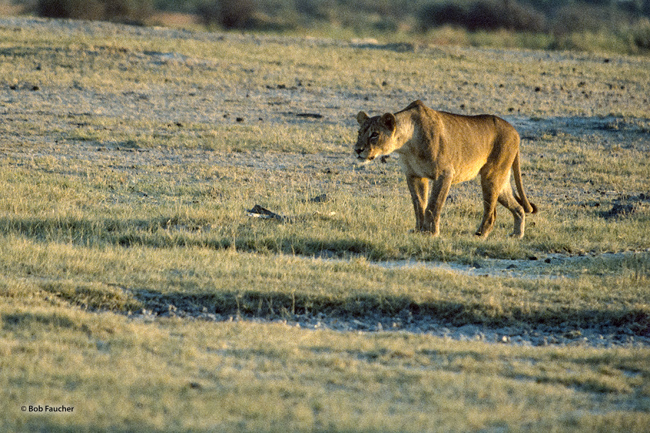 A lioness hunches her head down and forward as she stalks prey across the savannah.
