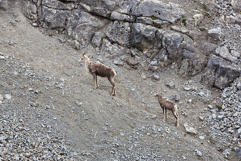 Stone sheep,Ovis canadensis,Stone Mountain Prov. Park,B.C.,Canada, photo