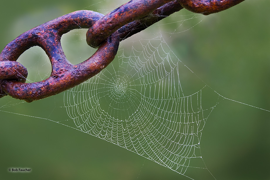 animal,animals,Arachnid,beast,beasts,creature,creatures,invertebrate,spider,undomesticated,wildlife,zoology,web,dew drops,chain links, photo