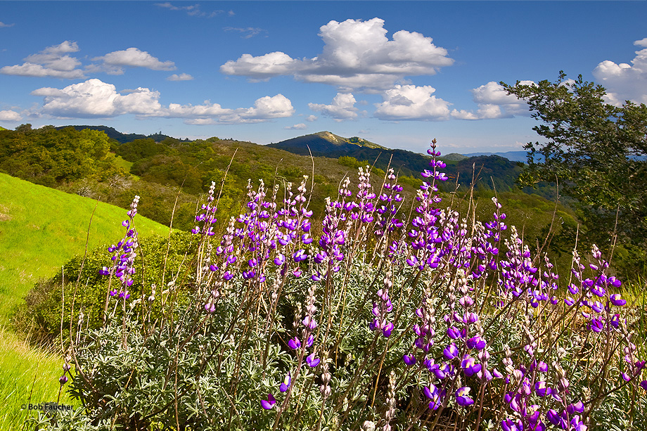 Lupines flourish along the trail leading to Bald Mountain. The park has 25 miles for hiking and horseback riding. On a clear...