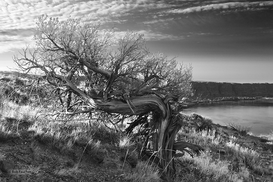 Crescent Bar,Sunrise,Columbia River,juniper, photo