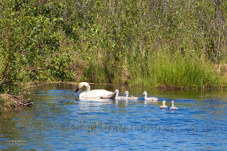 Swan,cygnet,Dot Lake,Alaska, photo