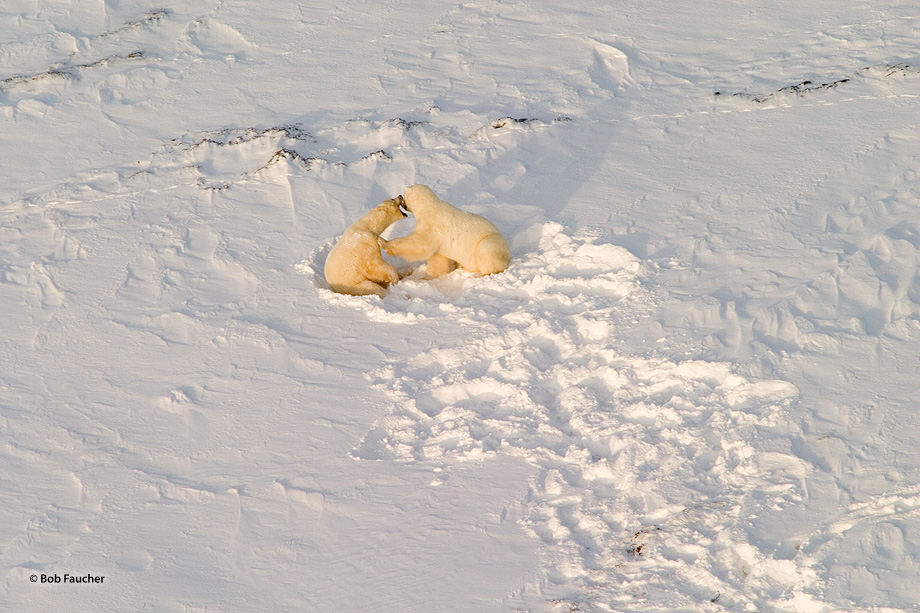 Churchill,Manitoba,polar bear,Wapusk, photo