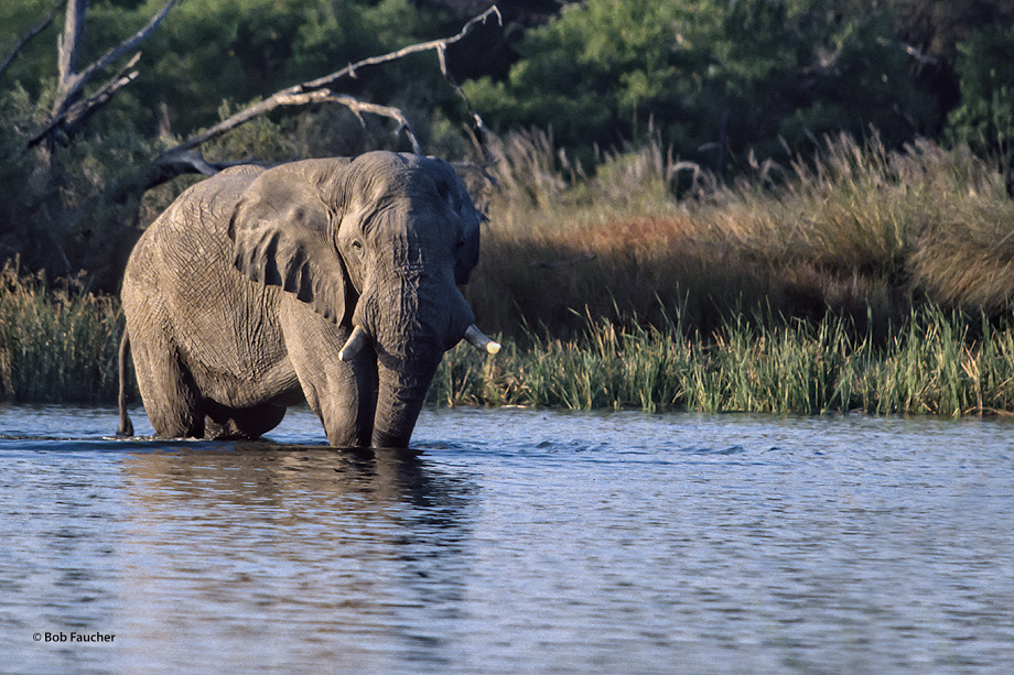 Bull elephant crossing the Okavango River to harass the photographer