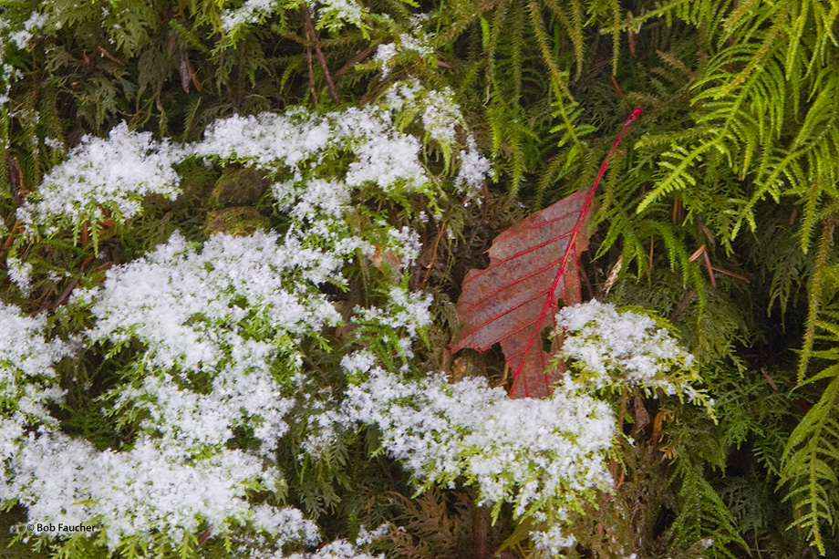 South Fork Stillaguamish River,snow,leaf,moss, photo