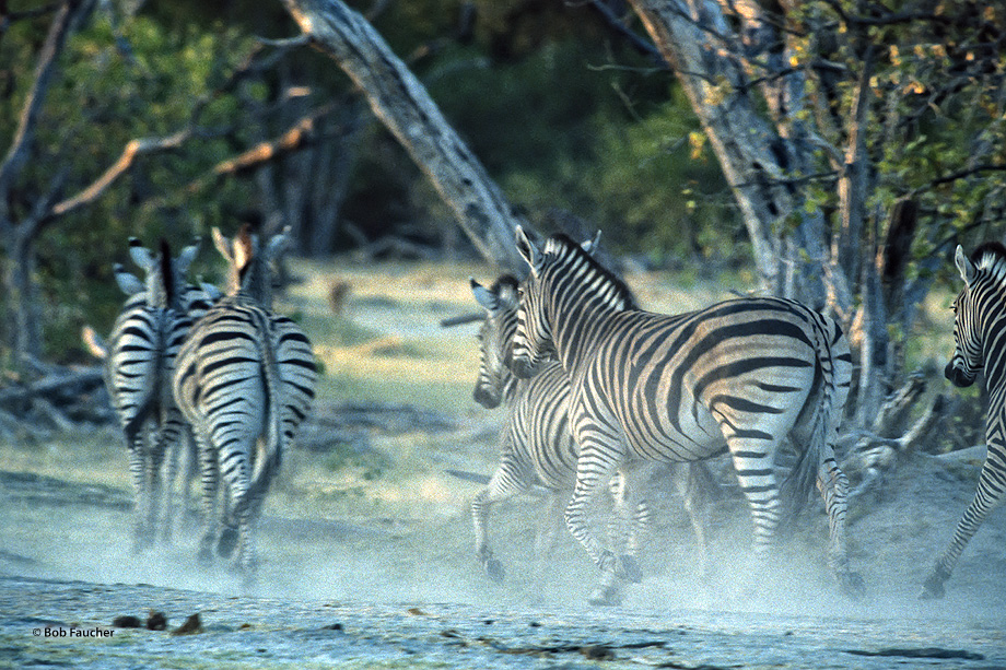 A harem of zebras runs to safety in the trees to avoid the hunting lion pride.