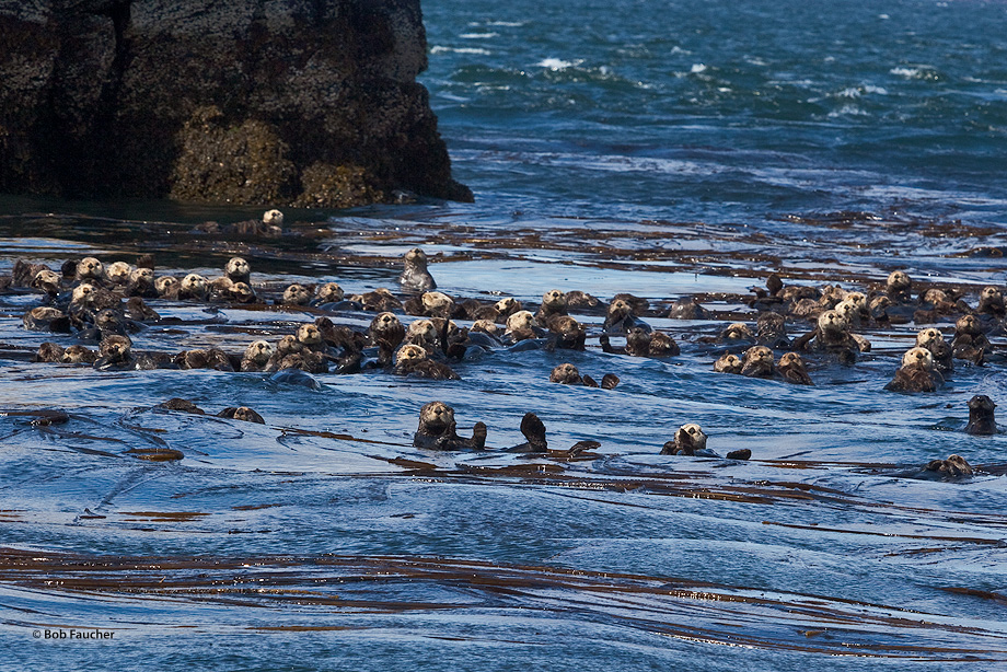 A raft of sea otters (Enhydra lutris) rests during the mid-day. It has a period of foraging and eating in the morning, starting...