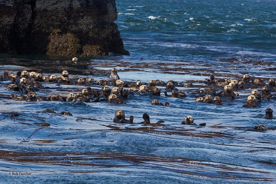 Raft,sea otter,Kodiak, photo
