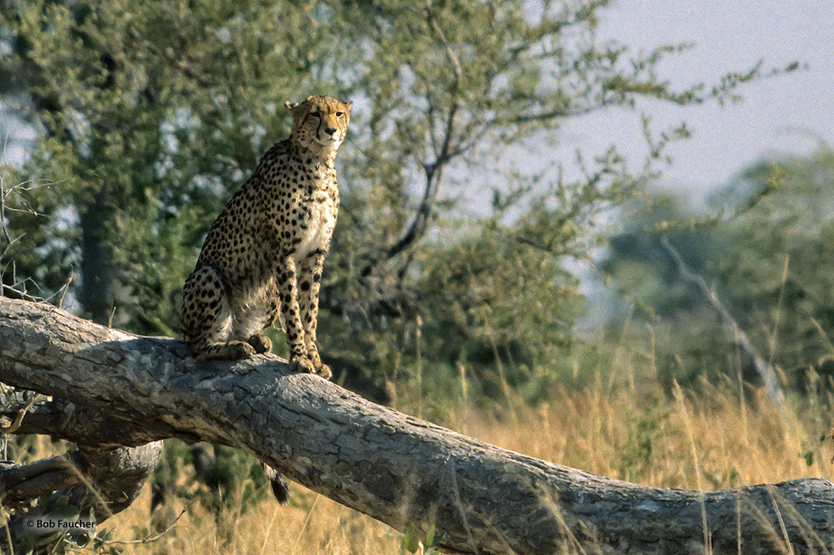 The cheetah (Acinonyx jubatus) frequently seeks elevated positions to rest so that all threats and opportunities can be seen...