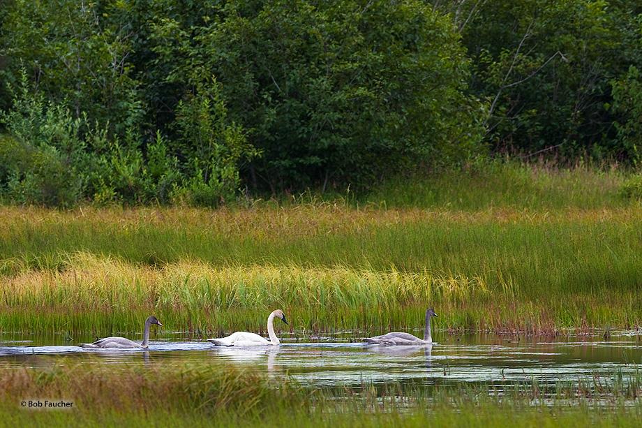 trumpeter swans (Cygnus buccinator),swan,cygnet,wetland,Seward,Kenai Peninsula,Alaska, photo
