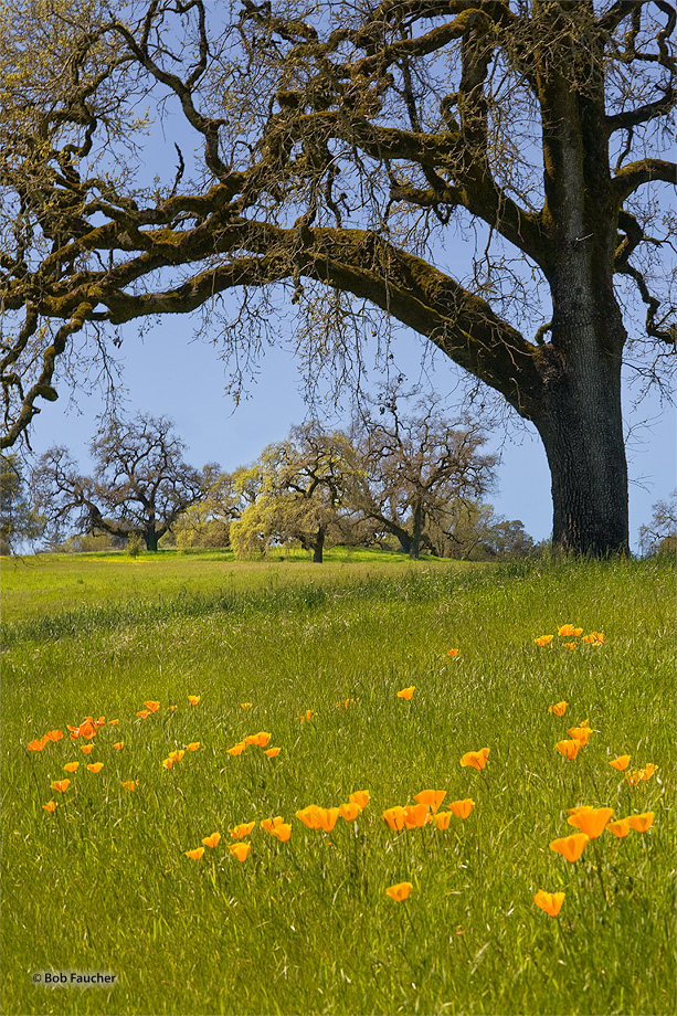 Mendocino foothills,oaks,poppies,grasses, photo