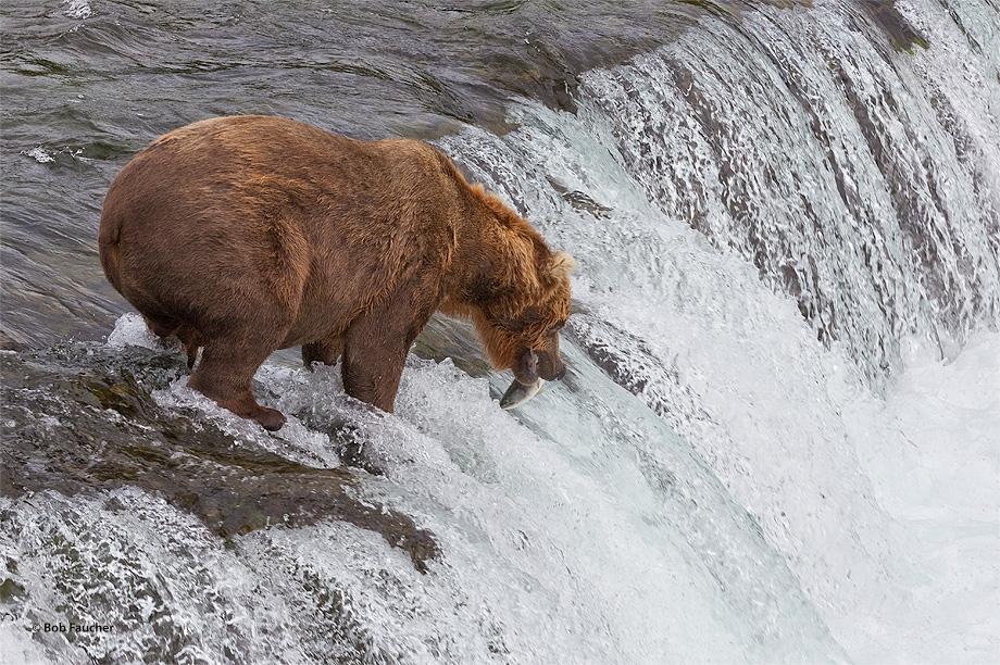 Brown (Grizzly) bear,Ursus Arctos,Brooks Falls,salmon,fishing,Katmai NP,Alaska Penninsula,Alaska, photo