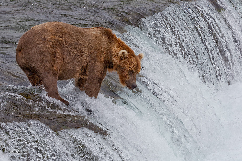 The bears at Brooks Falls have variable fishing strategies. This bear prefers to wait at the top of the falls for the fish to...