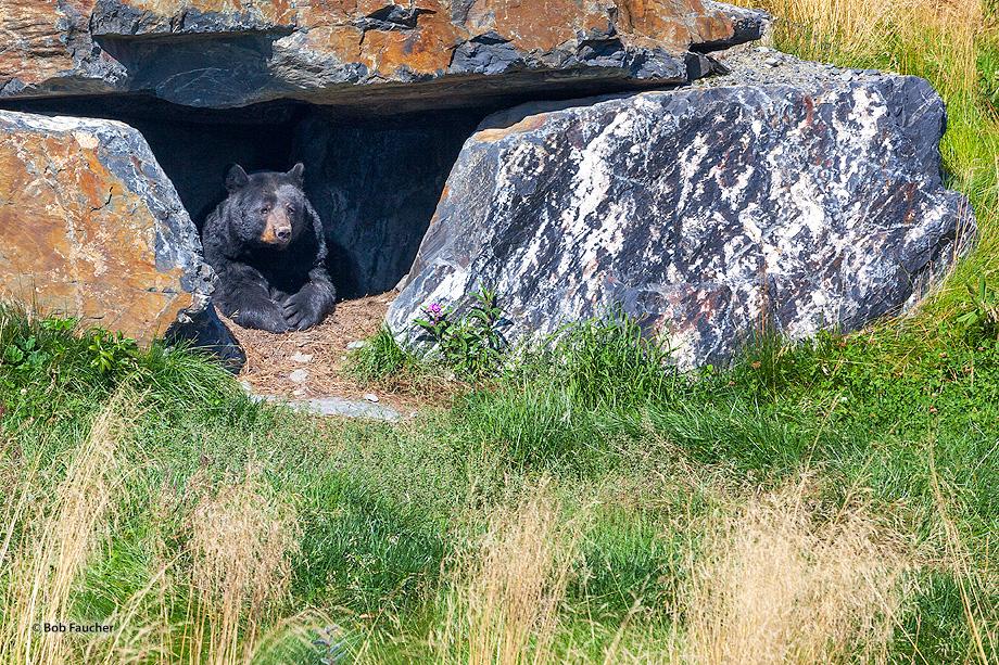 black bear,ursus americanus, photo