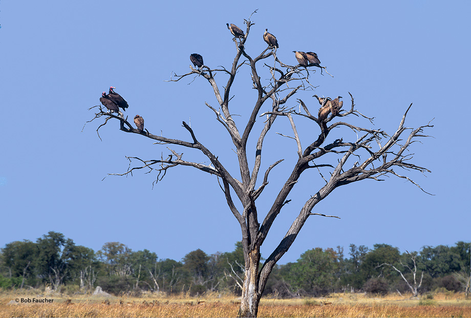 Lappet-faced vulture,Torgos tracheliotus,White-backed vulture,Gyps africanus,Rüppell's Vulture,Gyps rueppellii,Botswana,Africa,Rüppell's Vulture, photo
