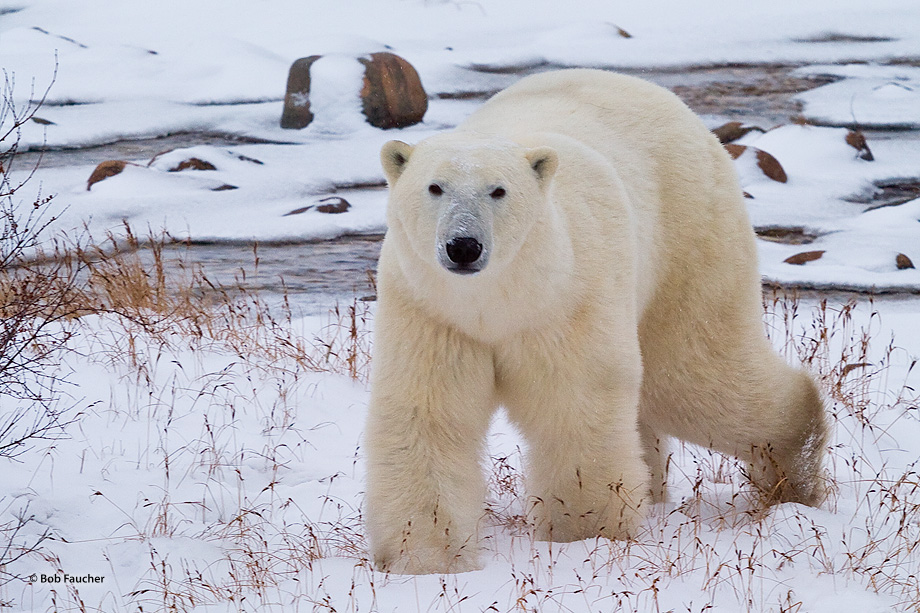 Churchill,Manitoba,Canada,polar bear