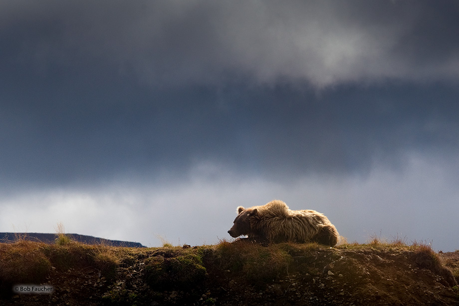 Katmai NP,Brown (grizzly) bear,Ursus Arctos,Moraine Creek