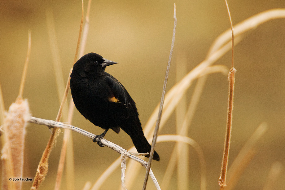 Redwing blackbird,cattails, photo