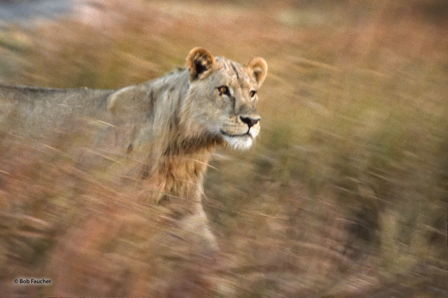 A young male lion intently running through the savannah to get to a wounded prey animal in distress that he heard from afar.