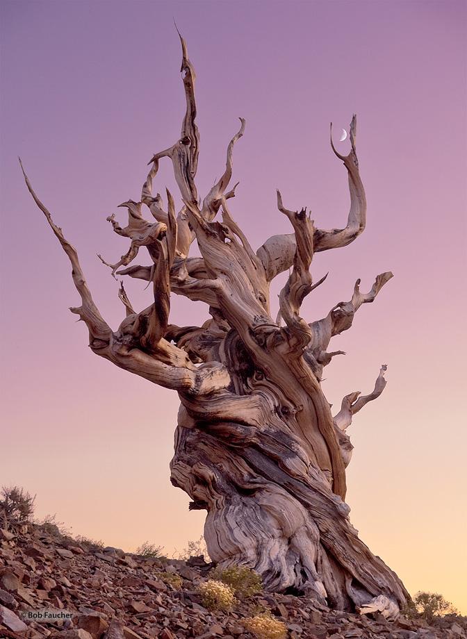Schulman Grove,bristlecone pine,evening,twilight,moon, photo