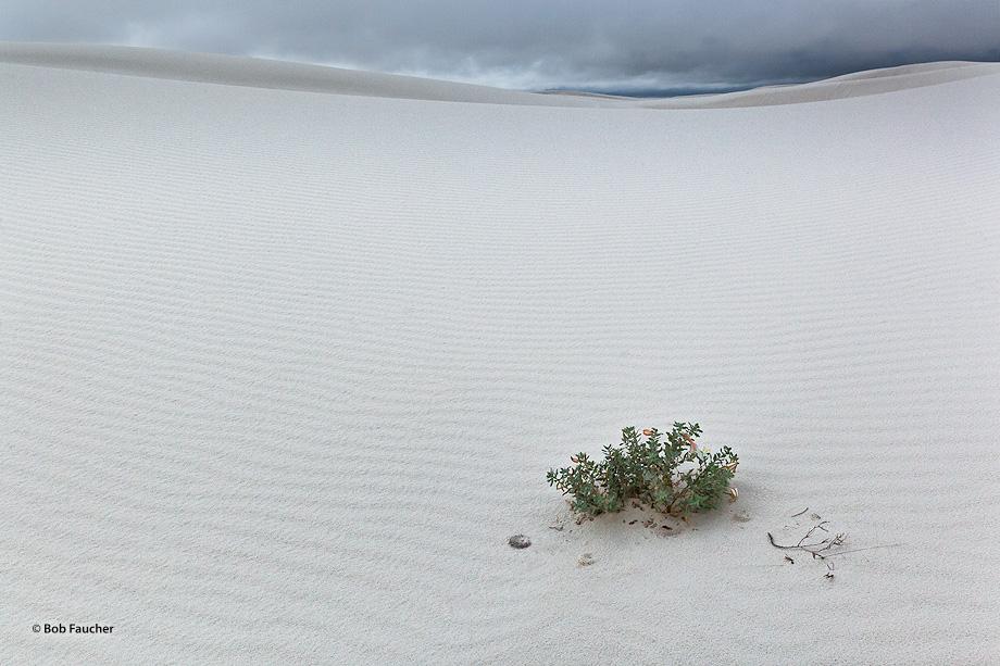 White Sands NM,evening primrose,burrows, photo